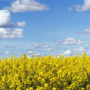 Panoramic landscape of a rapeseed field under blue sky